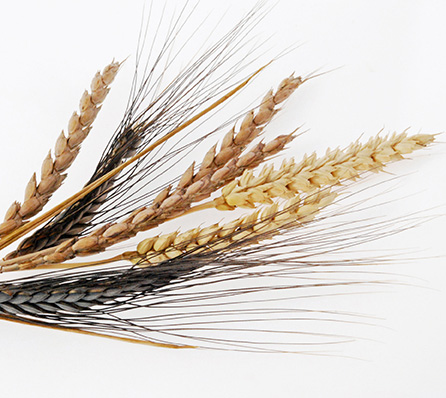 Ancient wheat varieties