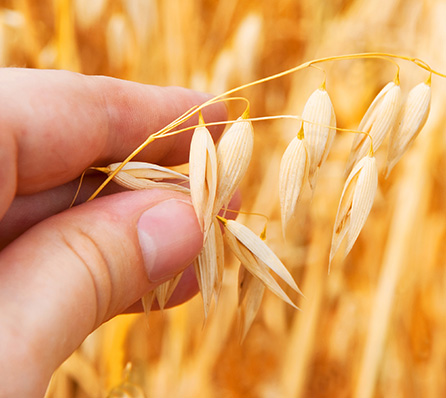 The Great Oat Debate – Are They Gluten Free or Not?